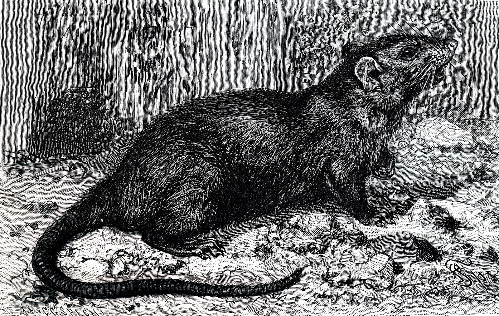 Print A Comeback For Plague Climate Change Could Create Conditions Favorable To The Disease Bubonic Plaguehas Been Spread In Past Epidemics By Rats Carrying Infected Fleas Universal History Archive Previous Image Image Next Image By