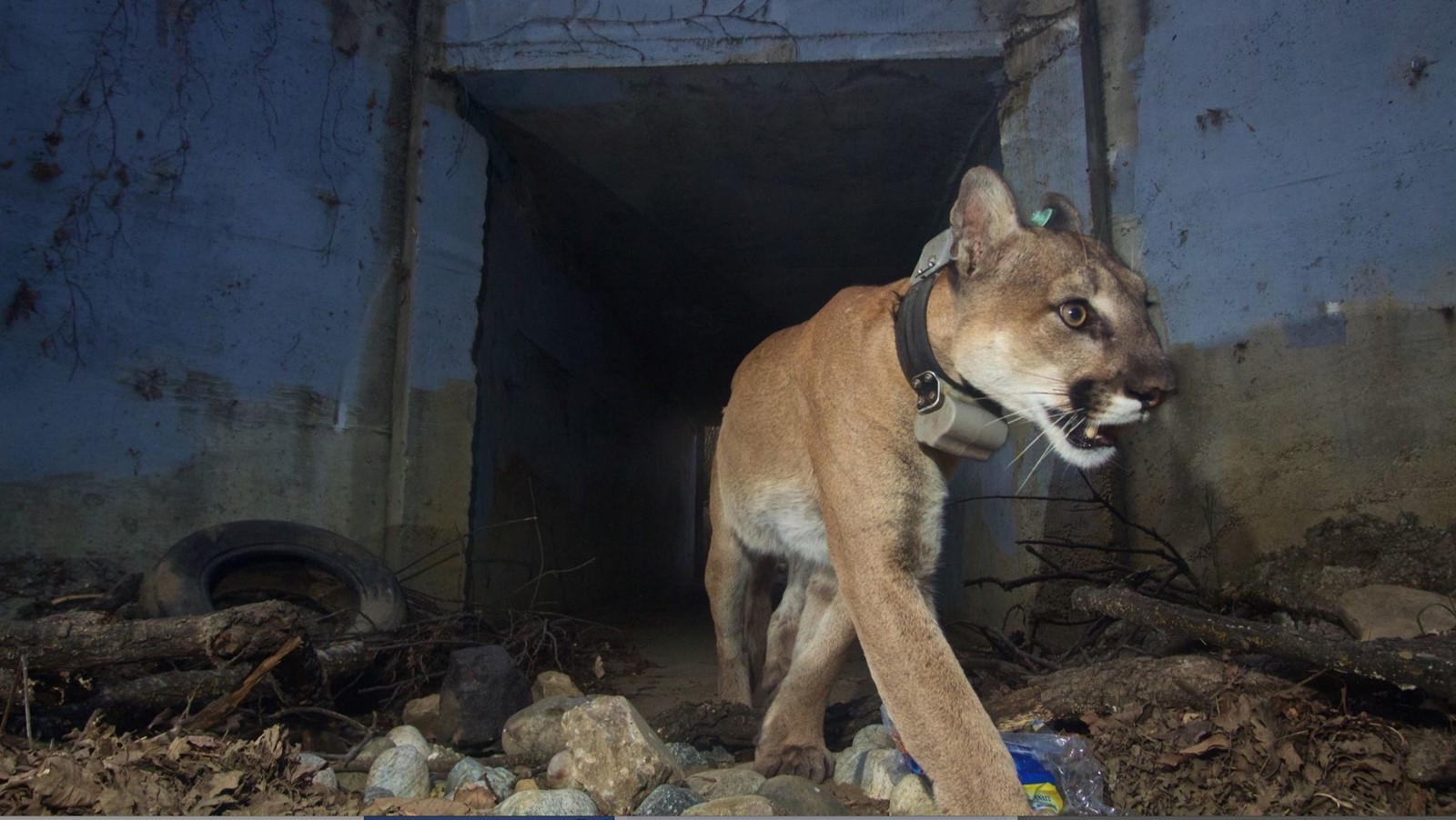 If the state designates the mountain lion subgroup cited in the petition as threatened, large-scale development could be limited in habitats within about a third of California. Above, the puma known as P-64. — Photograph: National Park Service.