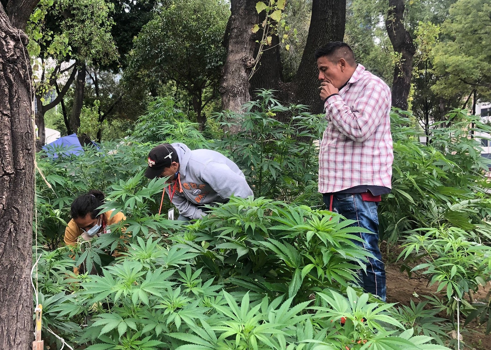 Print Mexico poised to become legal pot giant Lawmakers have until Dec. 15  to approve legislation to regulate recreational cannabis. DEBATE has  intensified in Mexico over what marijuana legalization should look like and  whom it should benefit. Above, the ...